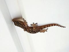baby-gecko.jpg