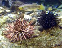 cc-sea-urchin.jpg
