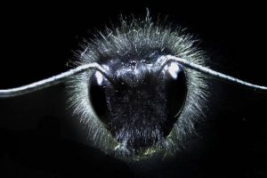 Bumble bee University of Bristol
