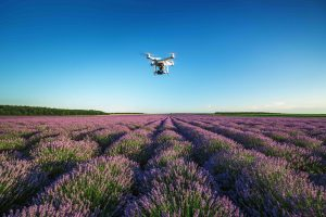 Flying drone over lavender field in Provence