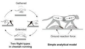 Nagoya cheetah gallop robot research